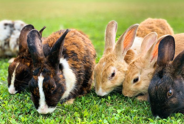 6 Rabbits eating grass