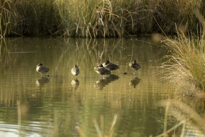 ducks in a local wetland